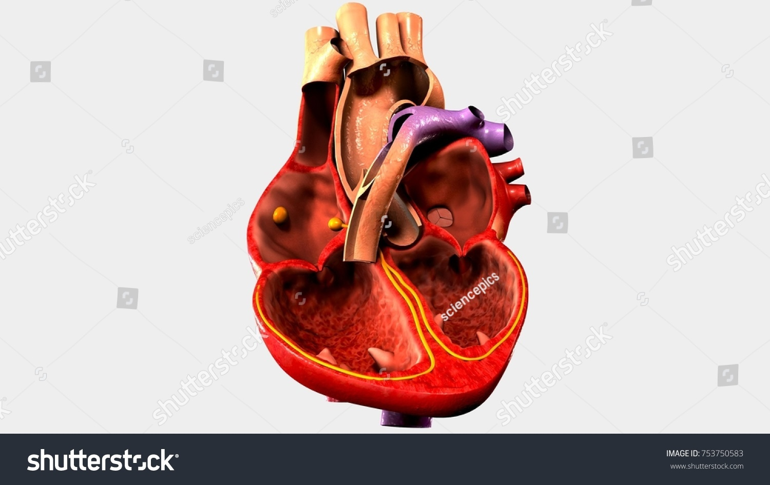 Human Heart Anatomy 3 D Illustration Stock Illustration 753750583 ...