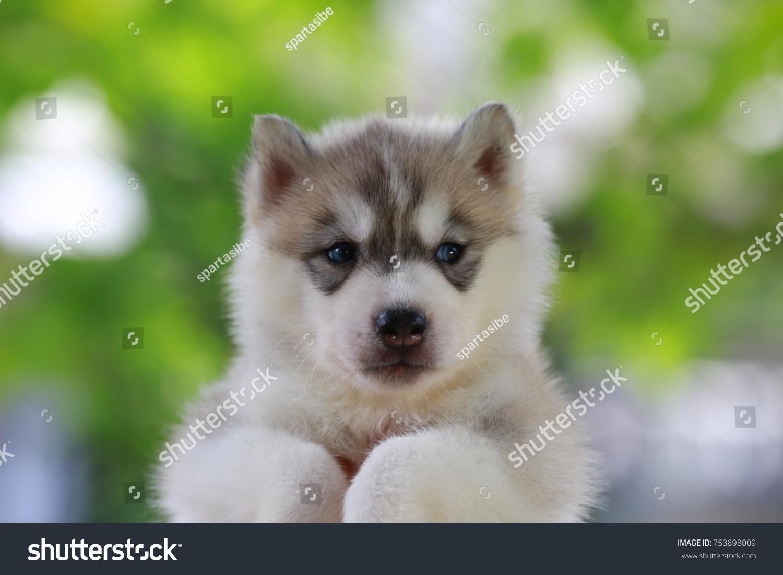 Siberian Husky Puppy Grey White Color Stock Photo Edit Now
