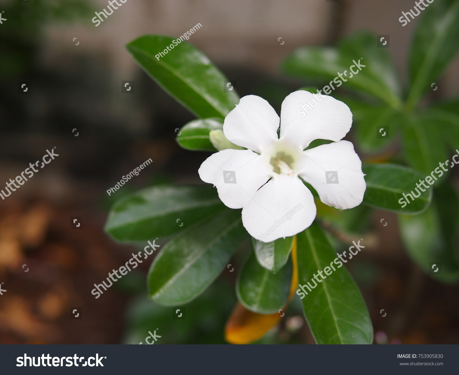 White Flower Five Petals Represent Lucky Stock Photo Edit Now