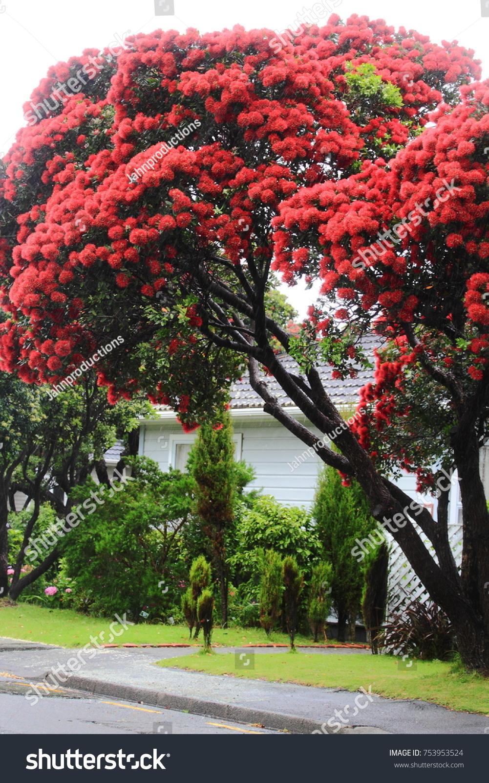 Pohutukawa New Zealand Christmas Tree Stock Photo Edit Now