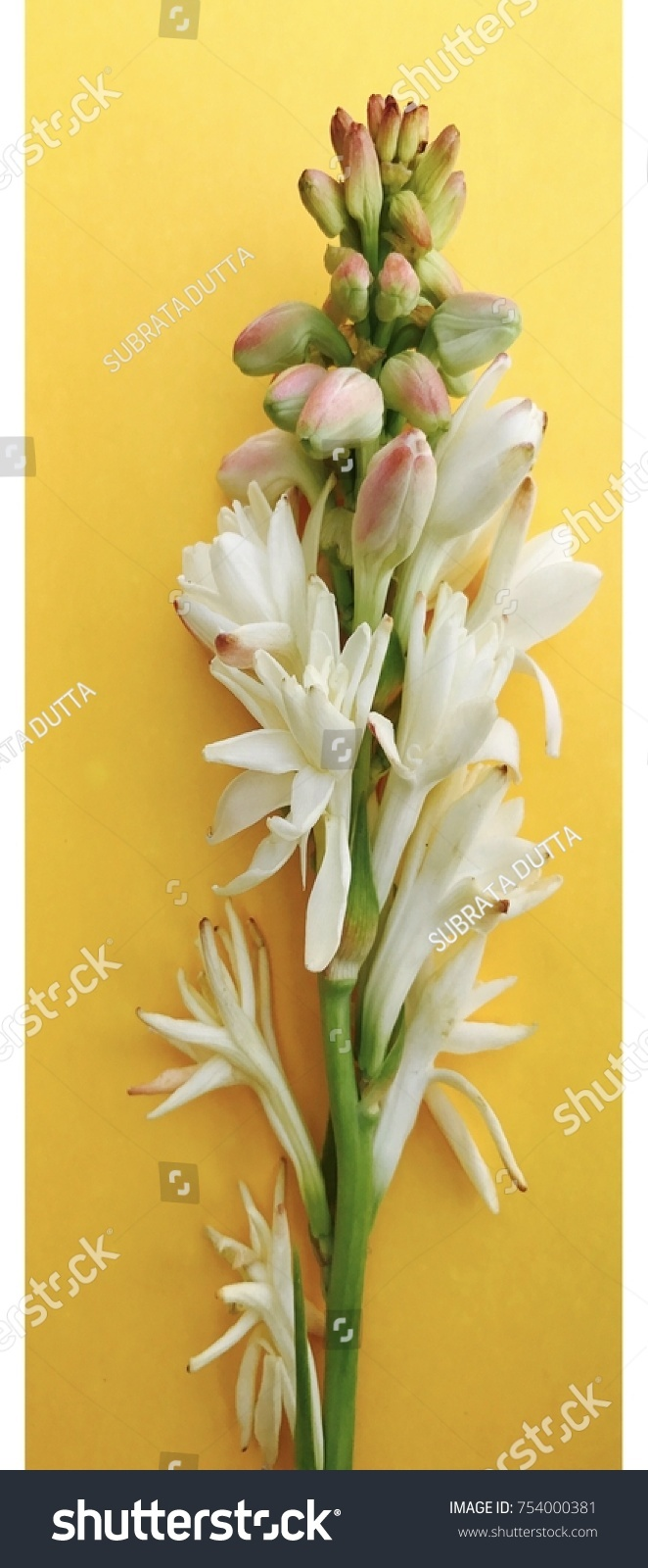 Flowering Branch White Tuberose Flowers Polianthes Stock Photo 100