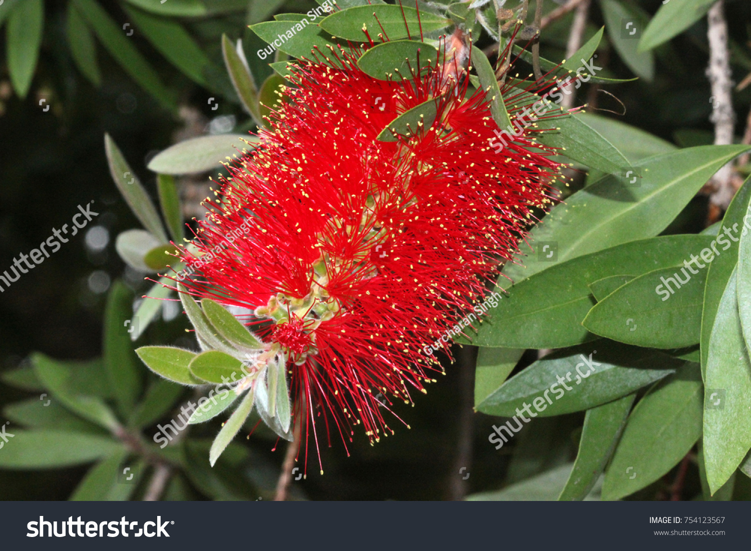Goldtipped bottlebrush callistemon polandii shrub small stock photo gold tipped bottlebrush callistemon polandii shrub or small tree with elliptic leaves with mightylinksfo