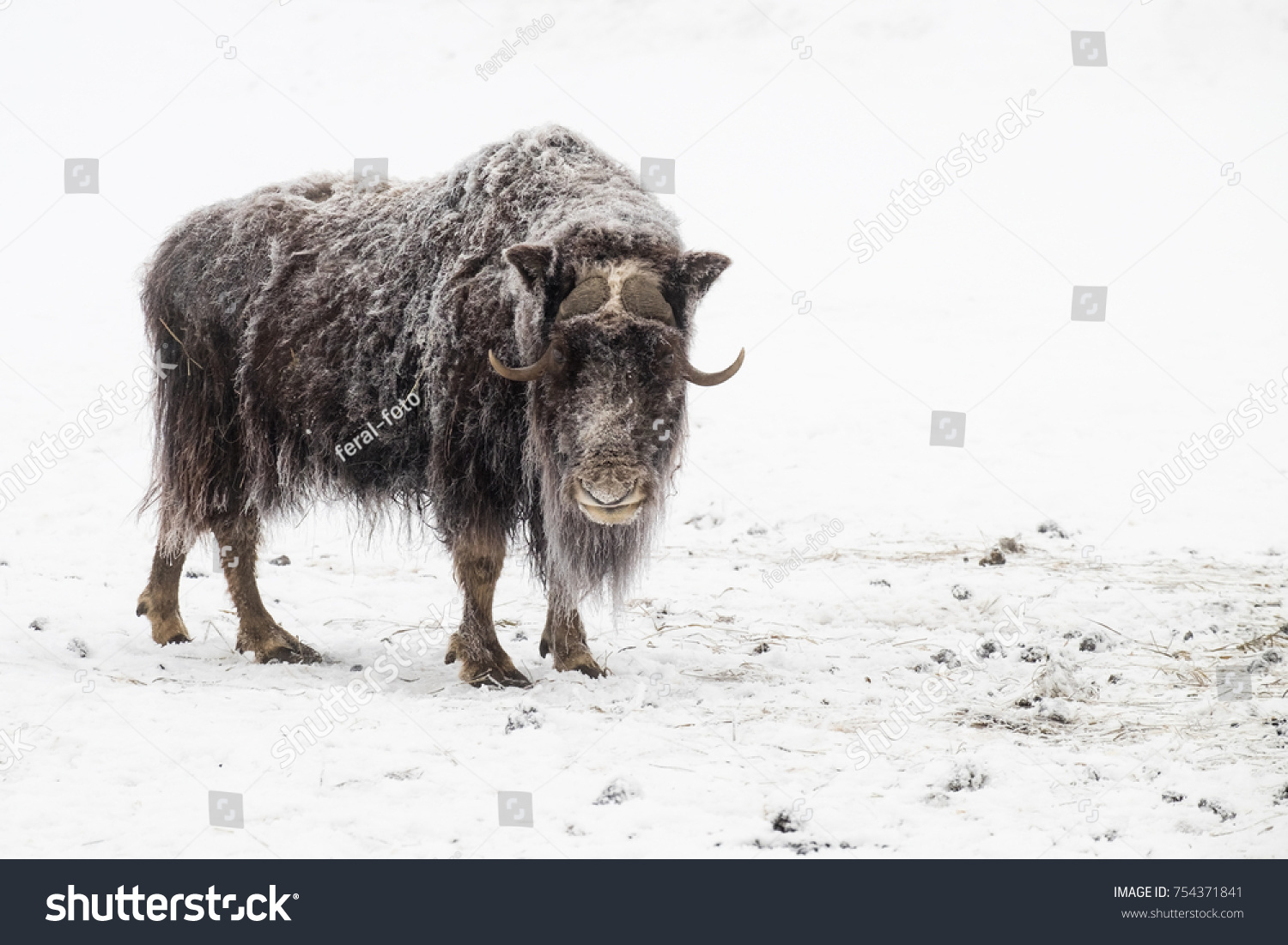 stock-photo-snow-covered-musk-ox-stands-