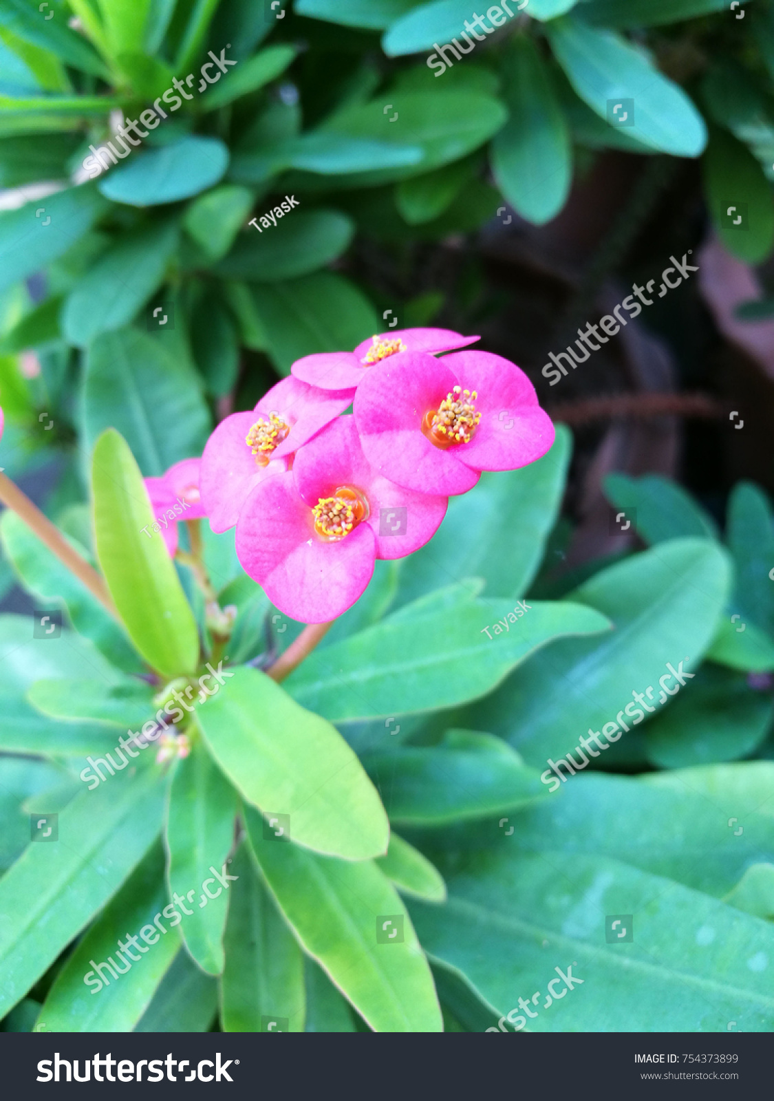 Closeup Crown Thorns Plant Small Pink Stock Photo Royalty Free