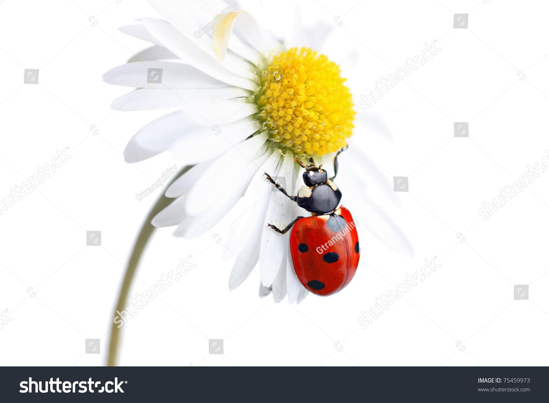 http://image.shutterstock.com/z/stock-photo-ladybird-coccinellidae-on-daisy-flower-75459973.jpg