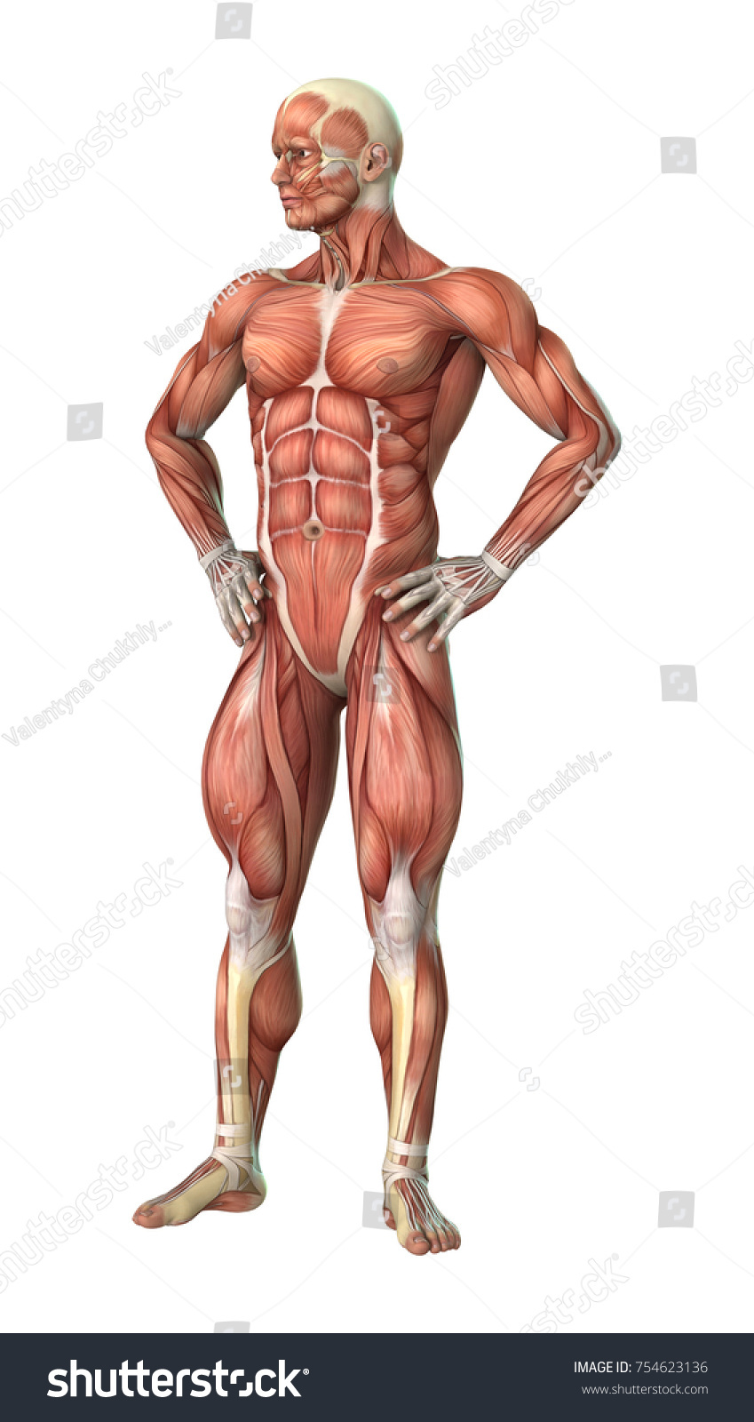 3d Rendering Of A Male Anatomy Figure With Muscles Maps Isolated On