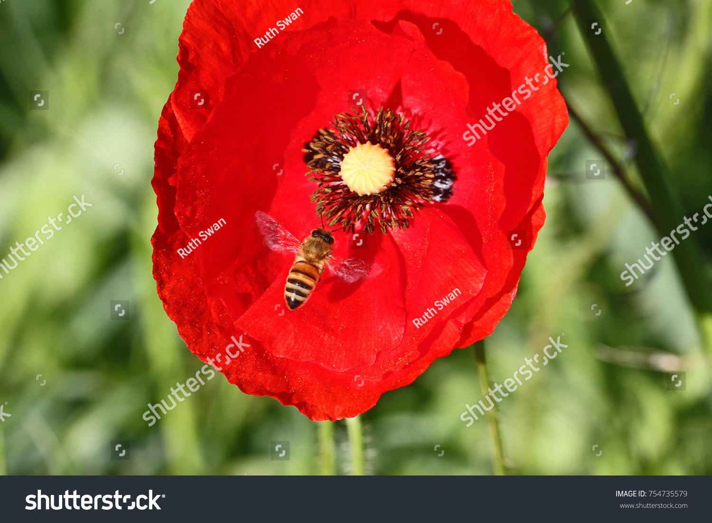 Honey Bee Worker Apis Mellifera Pollinating Stock Photo Edit Now