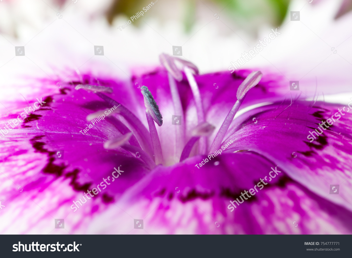 Dianthus Chinensis Fainbow Pink Flower Details Stock Photo Download