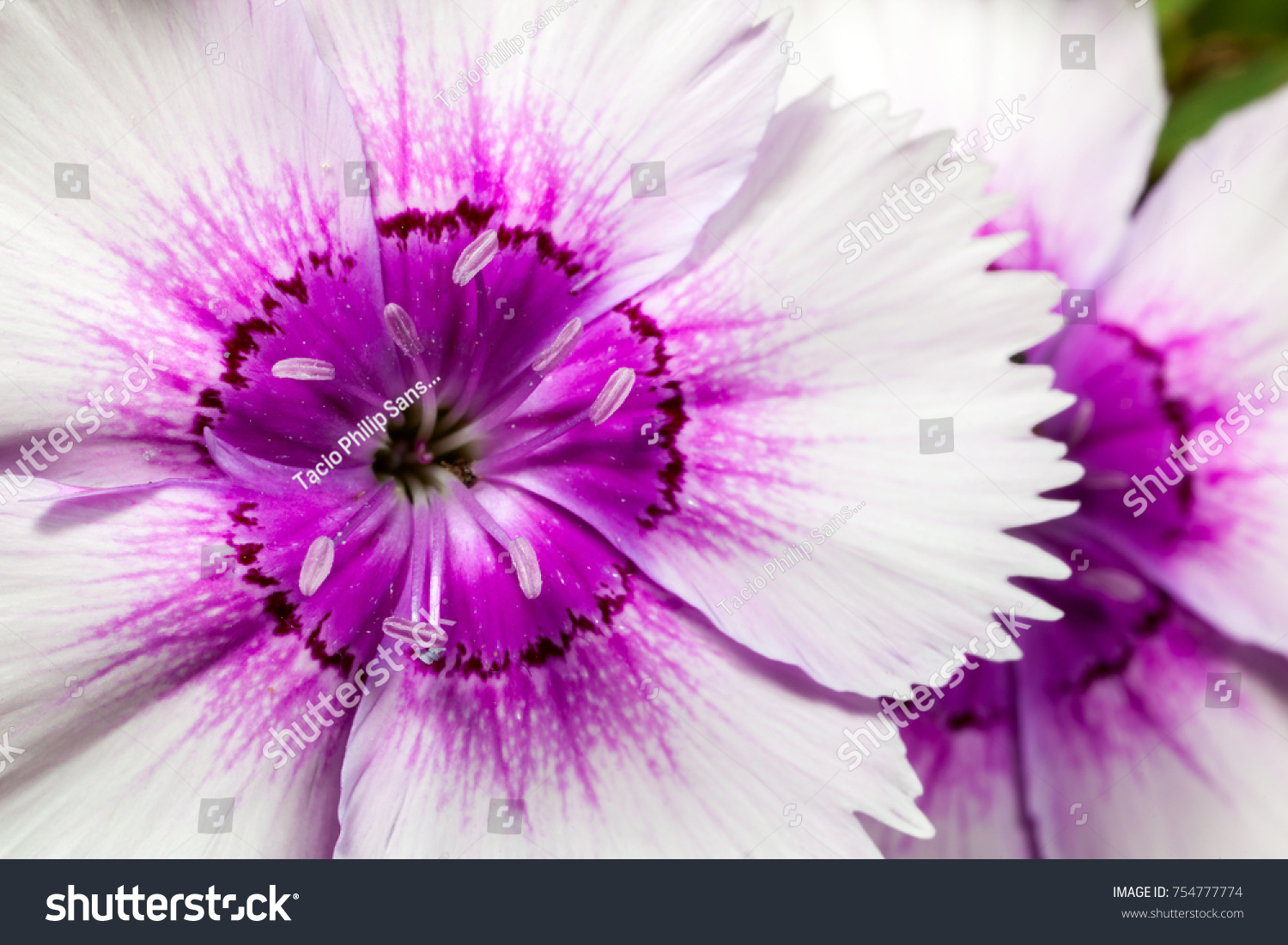 Dianthus Chinensis Fainbow Pink Flower Details Stock Photo 100