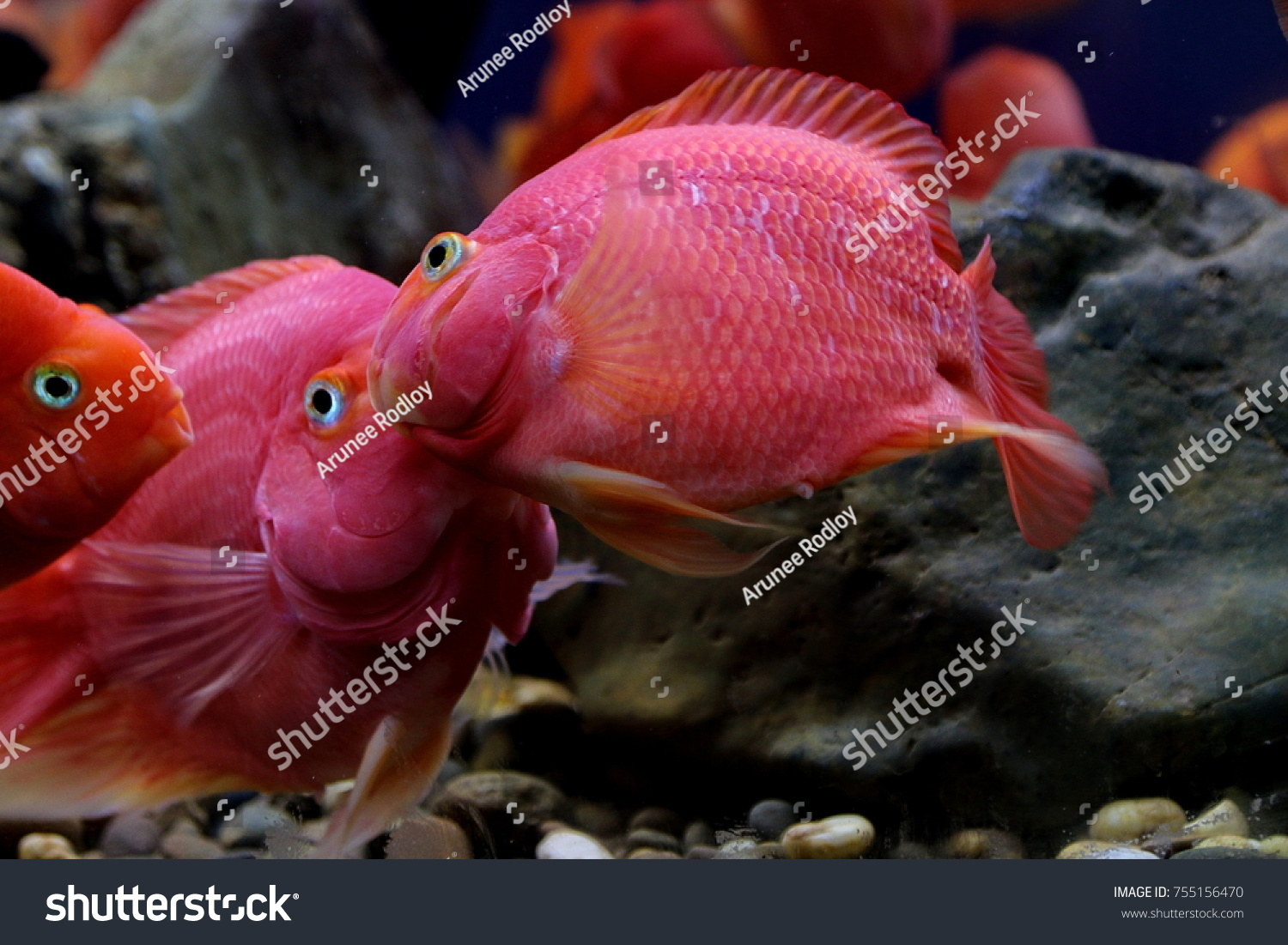 Blood Parrot Cichlid Hybrid Midas Redhead Stock Photo (Royalty Free ...