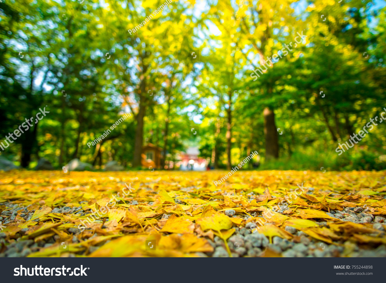 Yellow Ginkgo Leaves Fall On Ground Stock Photo (Edit Now) 755244898 ...