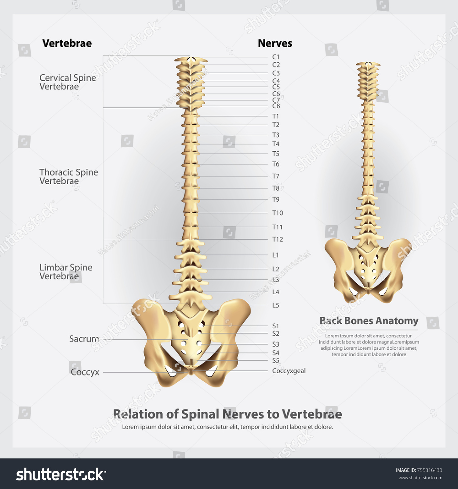 Spinal Nerves Vertebrae Segments Roots Vector Stock Vector (2018 ...