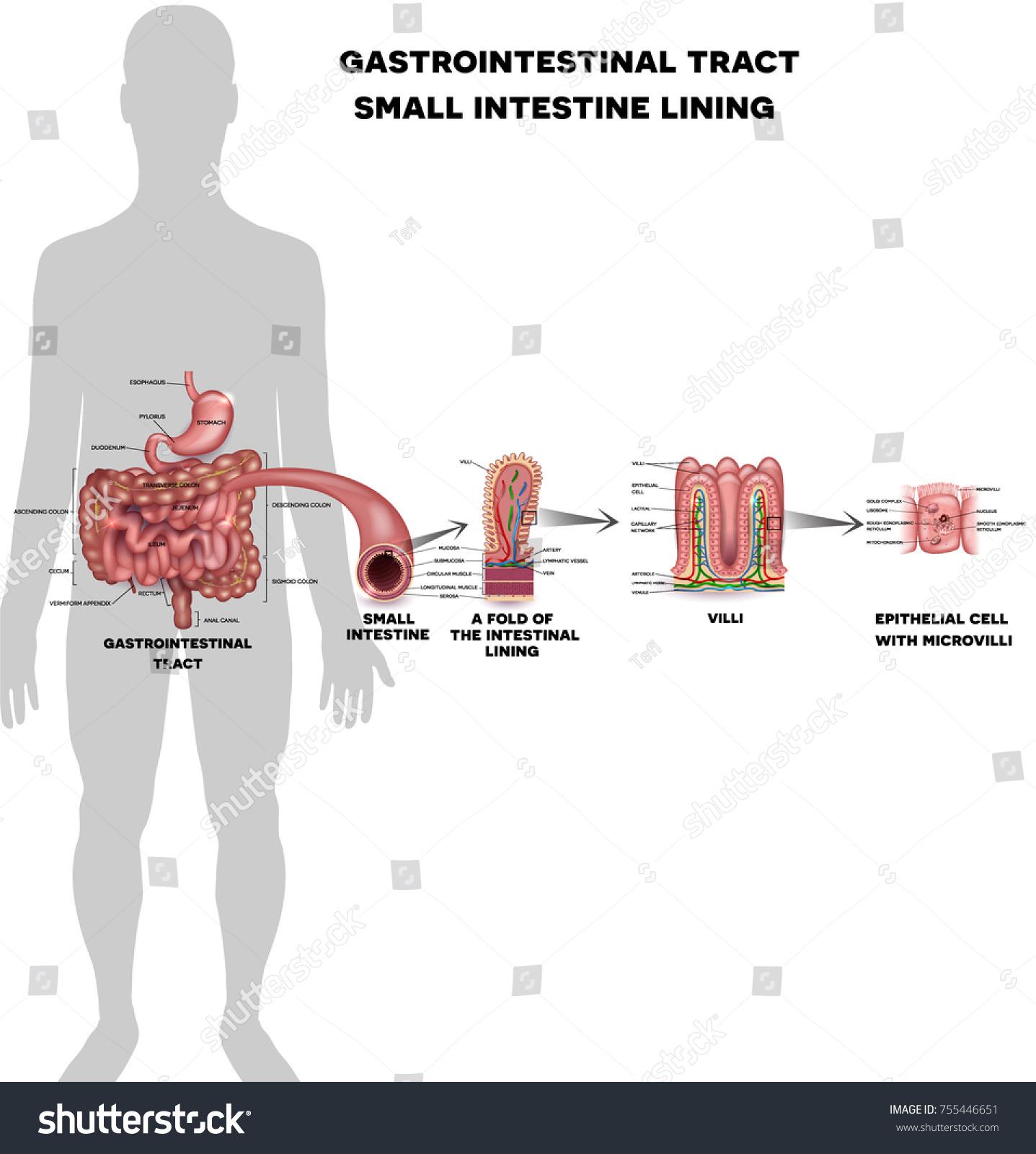 Small Intestine Lining Anatomy Fold Intestinal Stock-Vektorgrafik ...