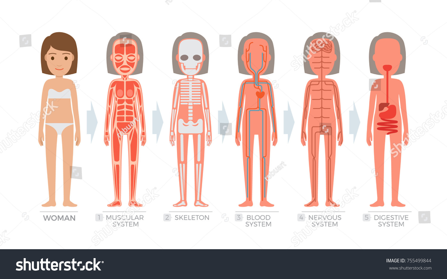 Woman Anatomy System Structure Human Body Stock Illustration
