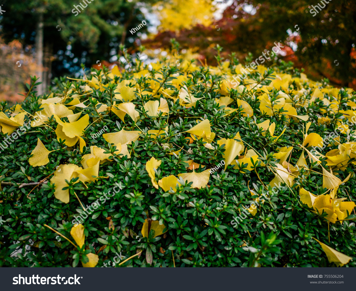 Yellow Ginkgo Leaves Fall On Green Stock Photo (Edit Now