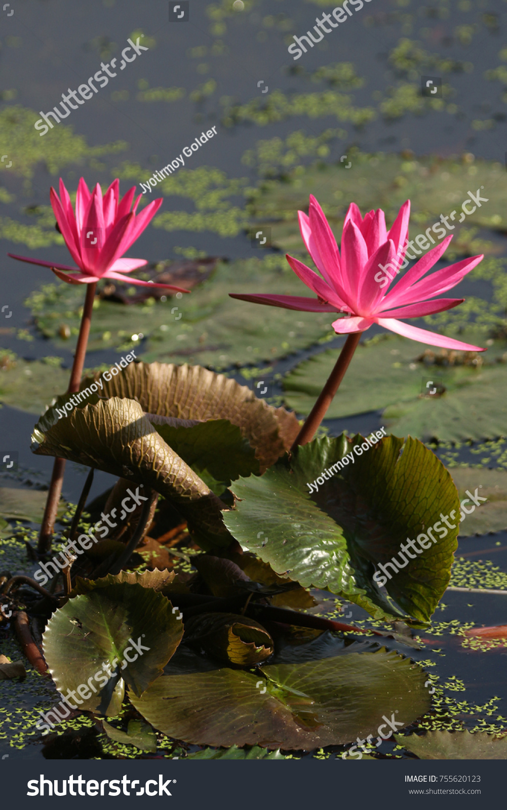 Red water lily beautiful floating plant stock photo edit now red water lily is a beautiful floating plant native to india it is widely cultivated izmirmasajfo