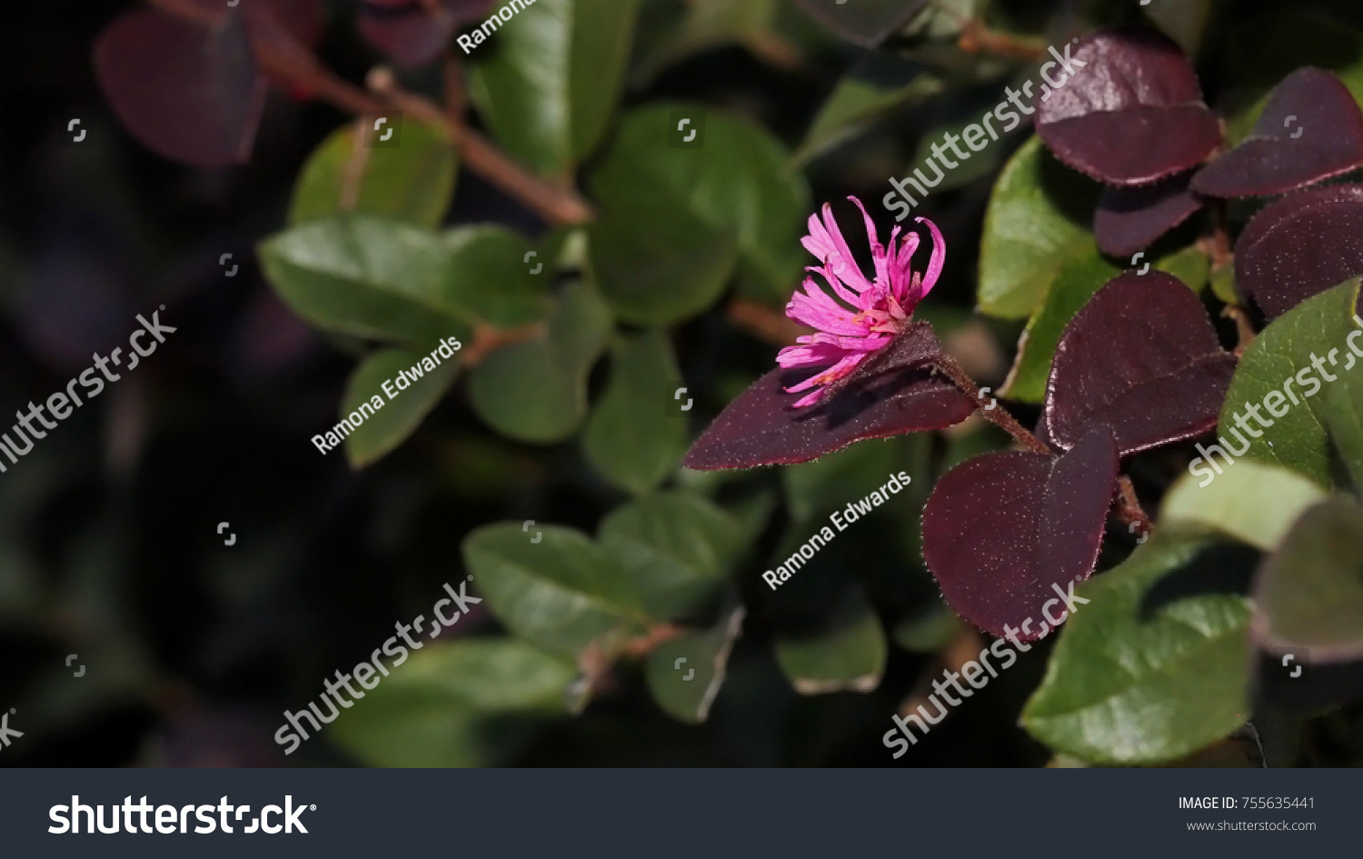 Bush purple leaves pink flower photograph stock photo royalty free bush with purple leaves and pink flower photograph of a bush with green and purple mightylinksfo