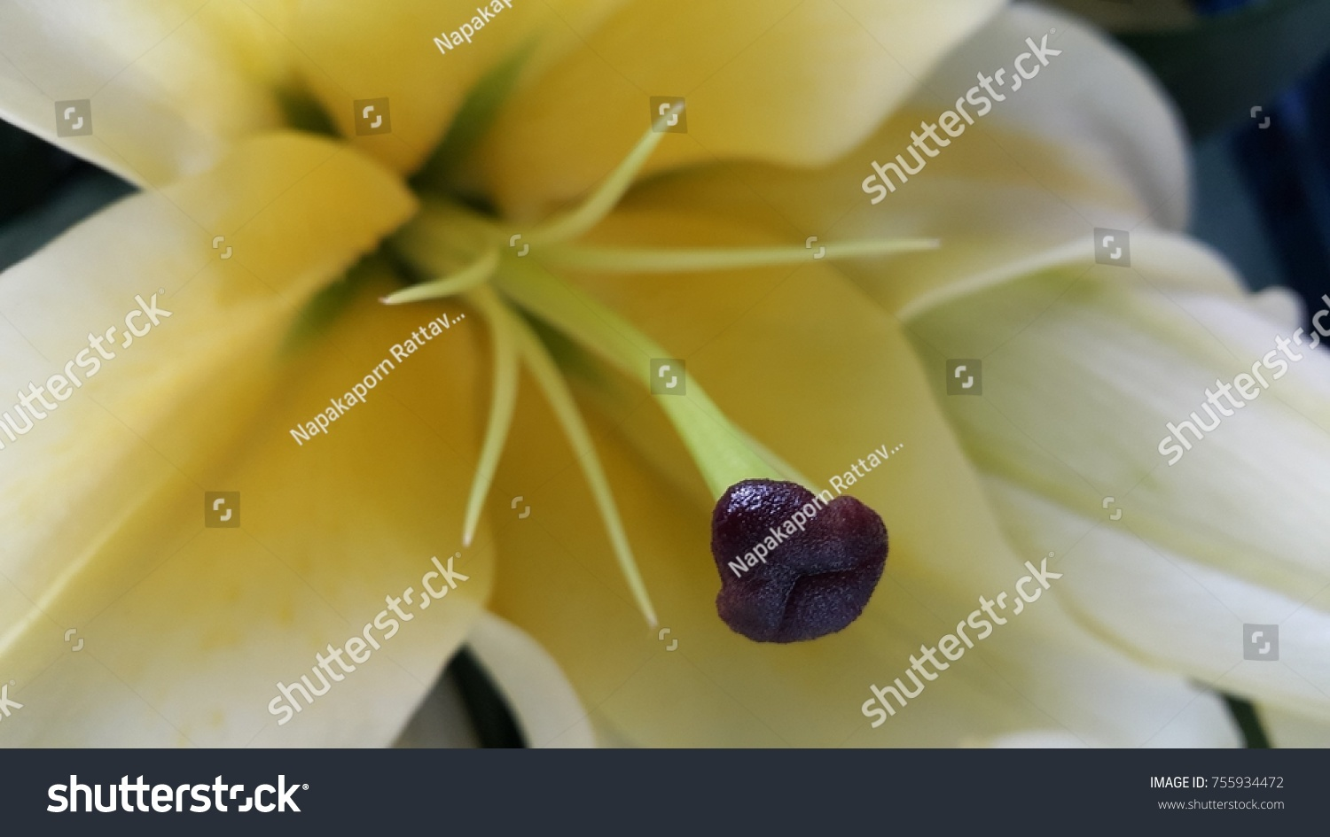 Pollen white lily flower look like stock photo edit now 755934472 the pollen of white lily flower look like a dogs mouth and nose izmirmasajfo
