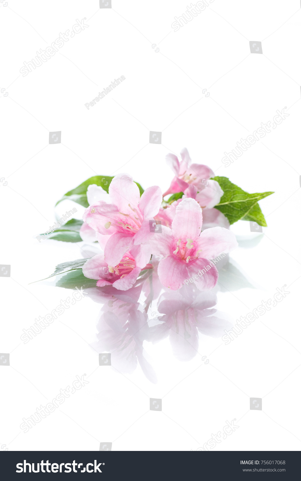 Beautiful Pink Flowers Weigela On White Stock Photo Safe To Use