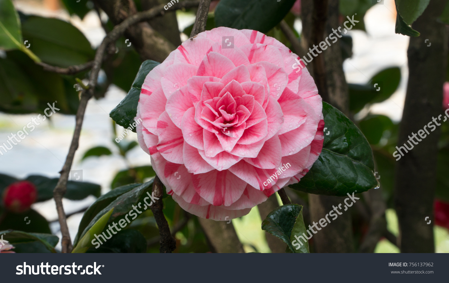 Pink Camellia Flower Blooming Morning Sunlight Stock Photo Edit Now