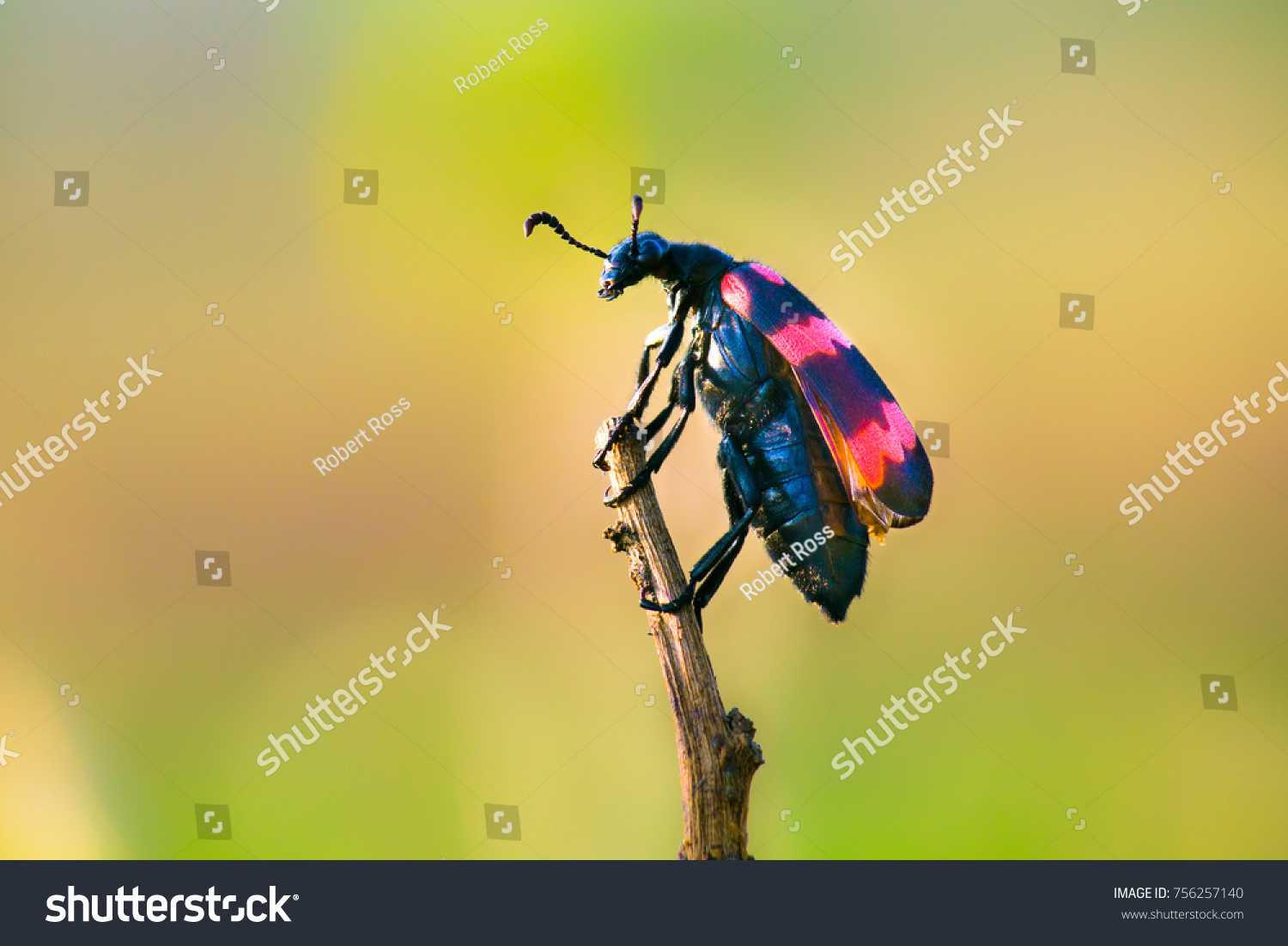 Beetles are a group of insects that form order Coleoptera, in the superorder Endopterygota. Their front pair of wings is hardened into wing-cases, elytra, distinguishing them from most other insects #756257140