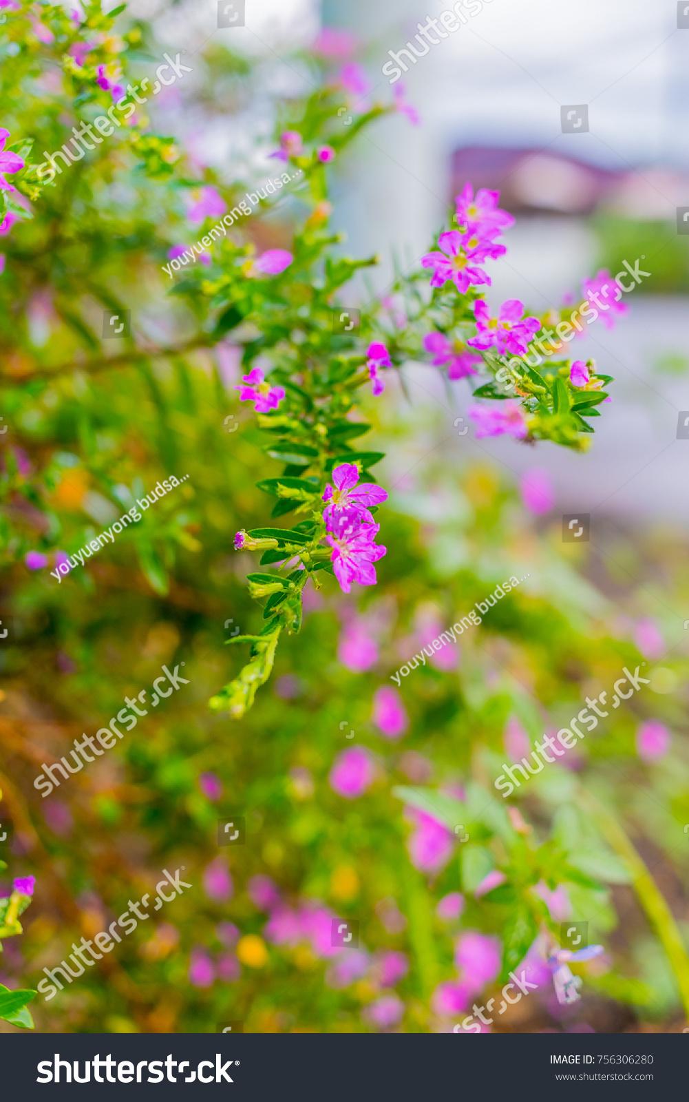 Beautiful Purple Flowers On The Sidewalk In The Morning Garden