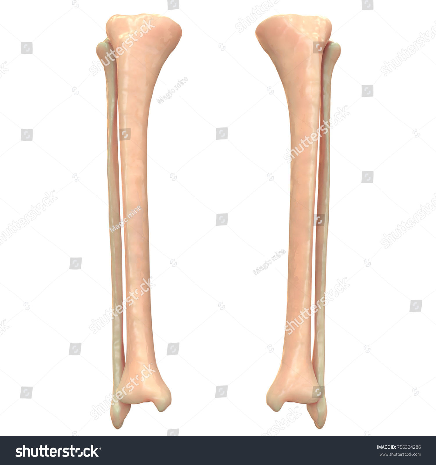 3 D Illustration Skeleton System Tibia Fibula Stock Illustration ...