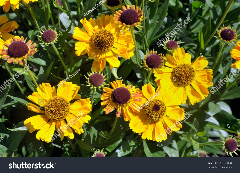 Yellow Daisy Like Flowers Heliopsis Helianthoides Tuscan Stock Photo