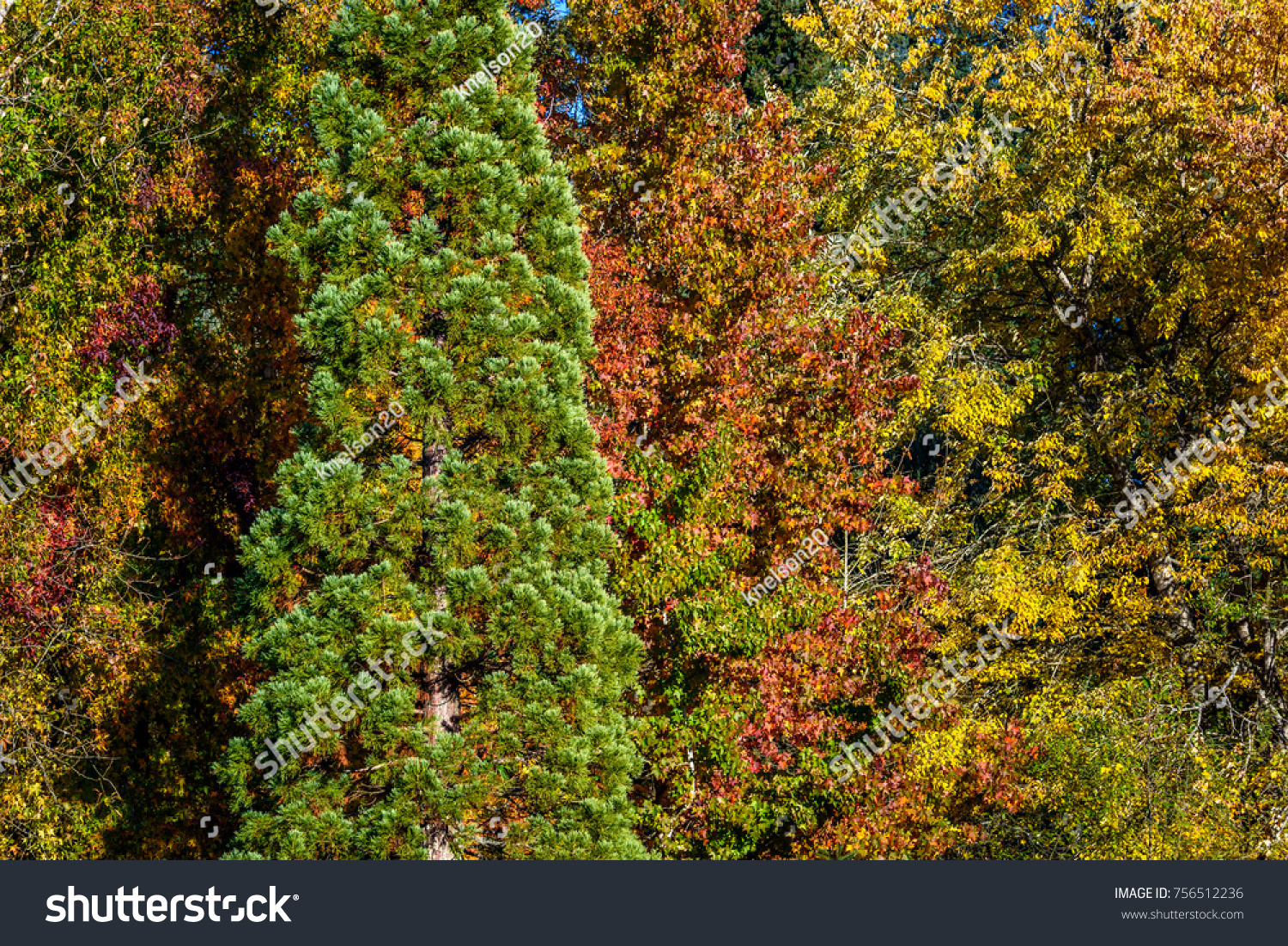 One Tall Green Evergreen Bush Among Stock Photo 756512236 - Shutterstock