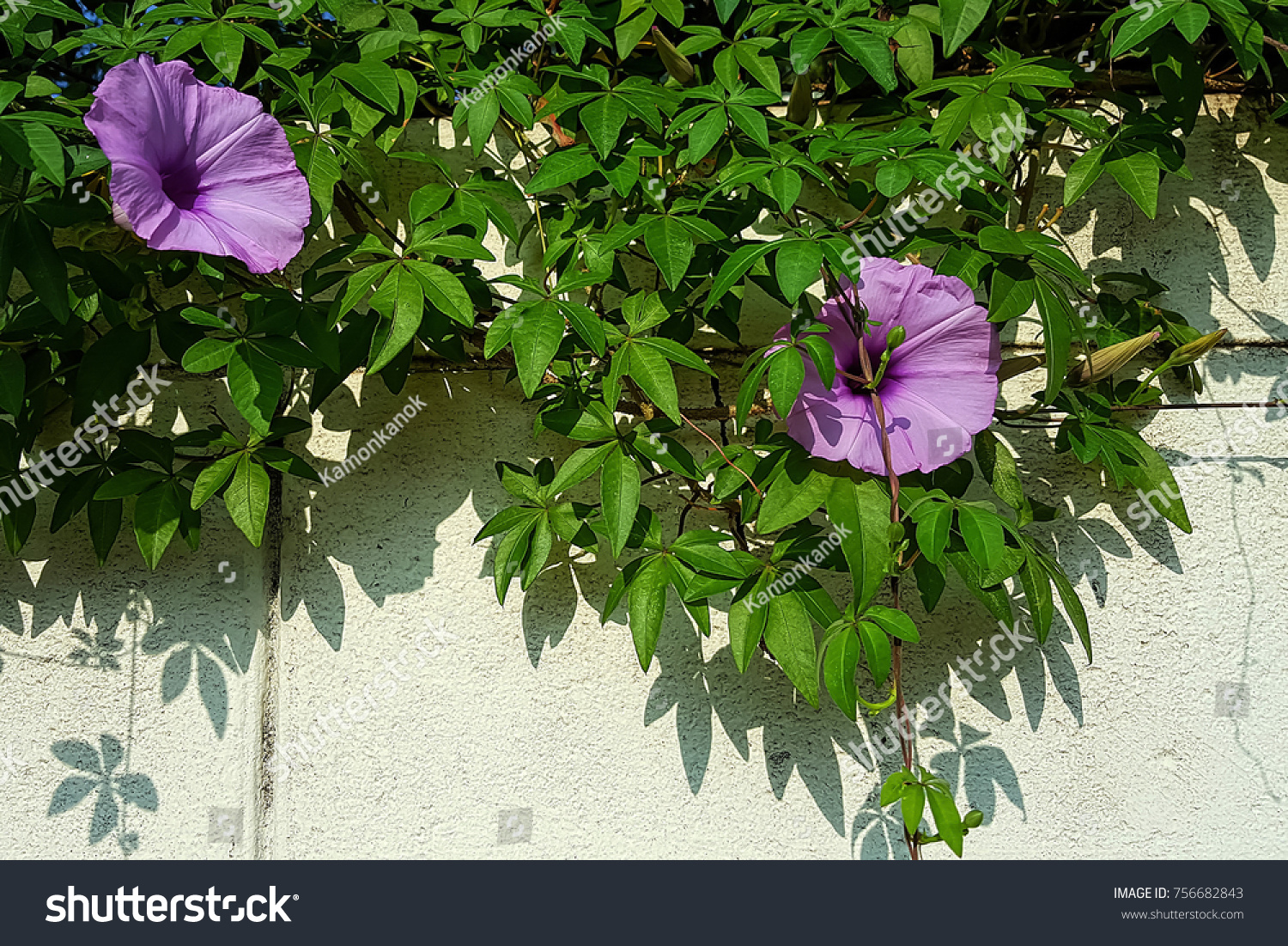 Morning Glory Flowers Full Bloom On Stock Photo Edit Now 756682843