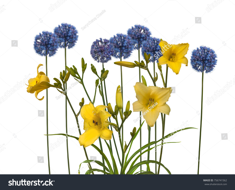 Flowering Yellow Daylily Hemerocallis Sort Winning Stock Photo
