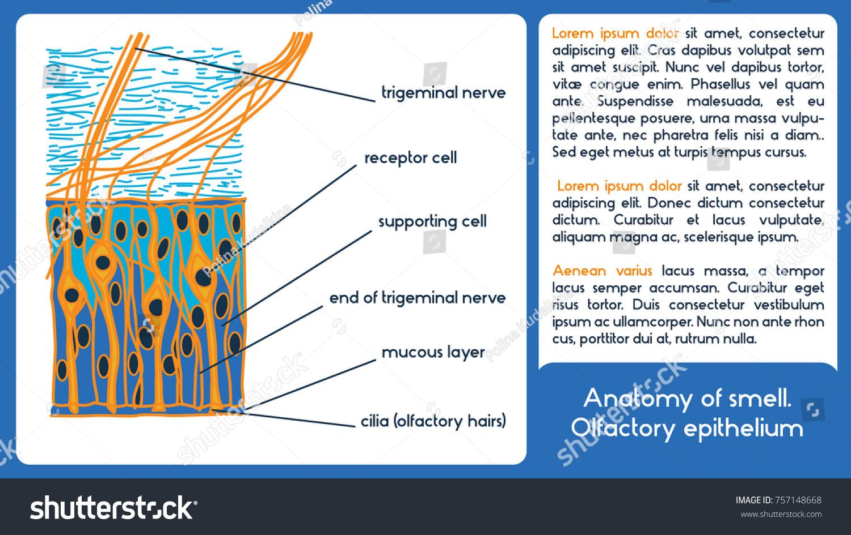 Anatomy Smell Olfactory Epithelium Vector Scheme Stock Vector ...