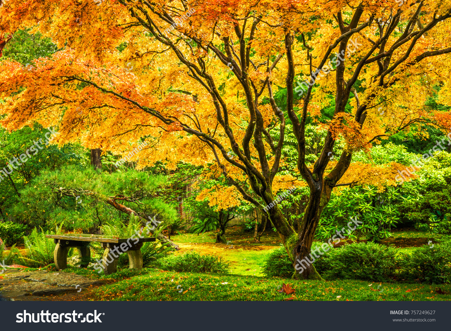 Japanese Maple Tree Golden Fall Foliage Stock Photo (Safe to Use ...