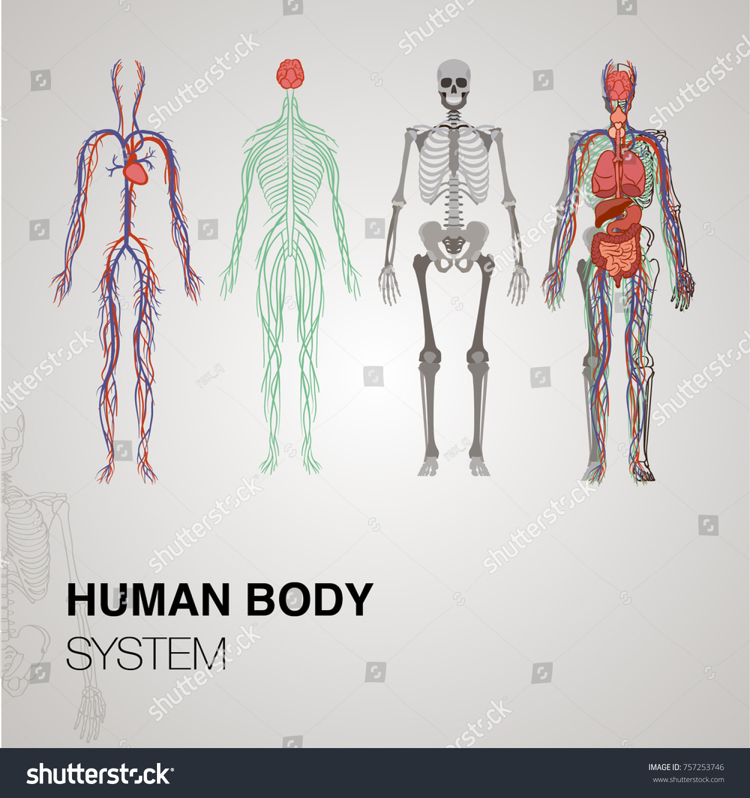 Anatomy Human Body Systems Stock Vector 757253746 Shutterstock