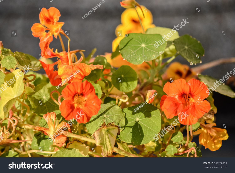 Close Bright Orange Yellow Nasturtium Flowers Stock Photo