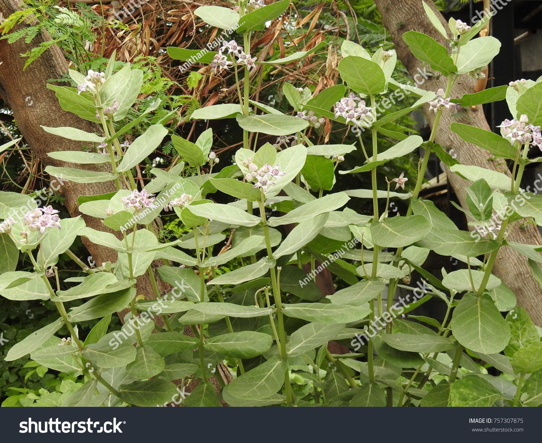 Calotropis gigantea crown flowers plant stems stock photo royalty calotropis gigantea crown flowers plant stems leaves and flowers gigantic swallow wort izmirmasajfo