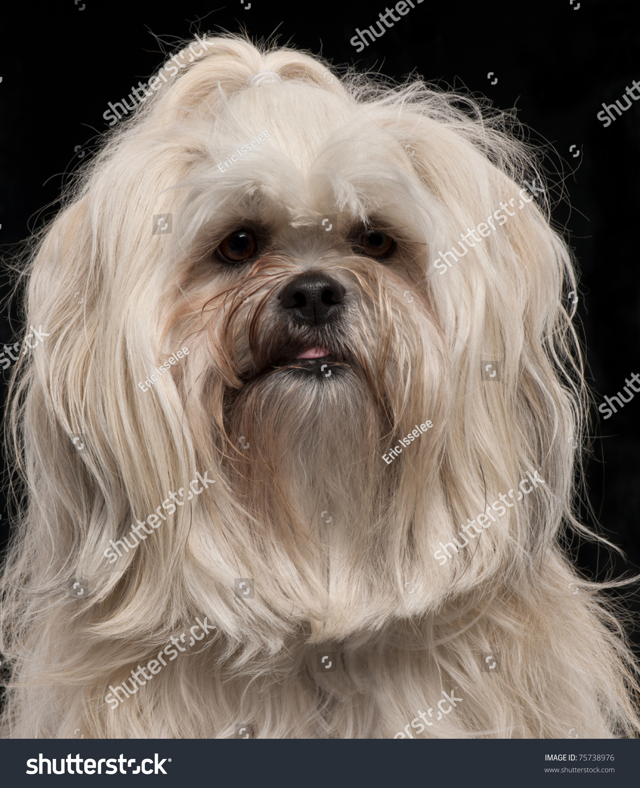 Lhasa Apso 2 Years Old Close-Up Of Lha...
