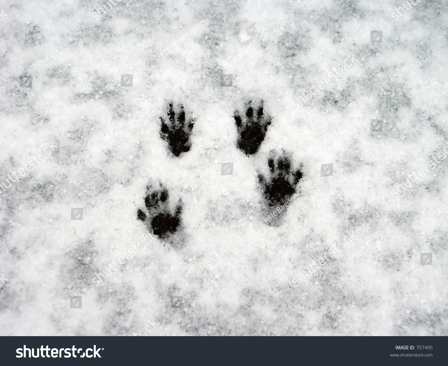 Squirrel Paw Prints Snow Stock Photo 757495 Shutterstock