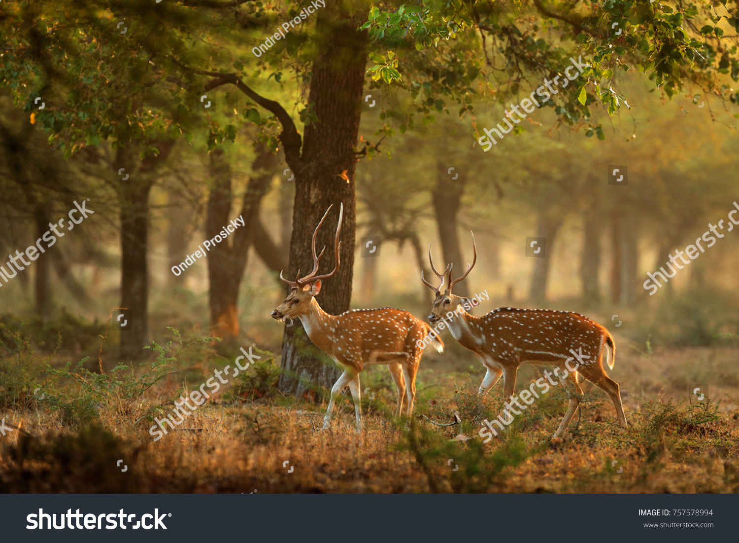 Chital or cheetal, Axis axis, spotted deers or axis deer in nature habitat. Bellow majestic powerful adult animals. #757578994