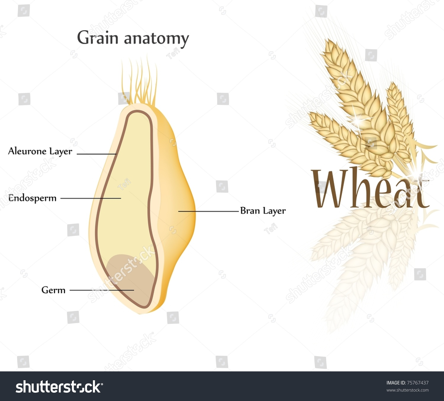 Wheat Grain Anatomy Cross Section Grain Stock Photo (Photo, Vector ...