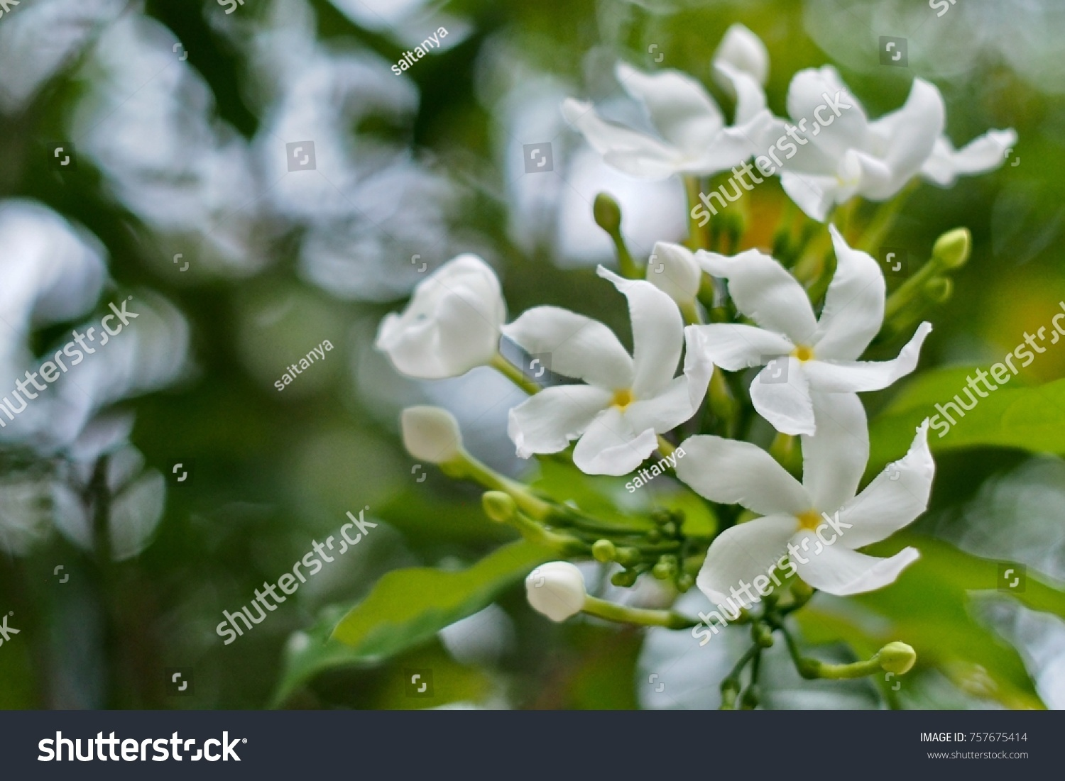 White Flowers Can Mean Reverence Humility Stock Photo Royalty Free