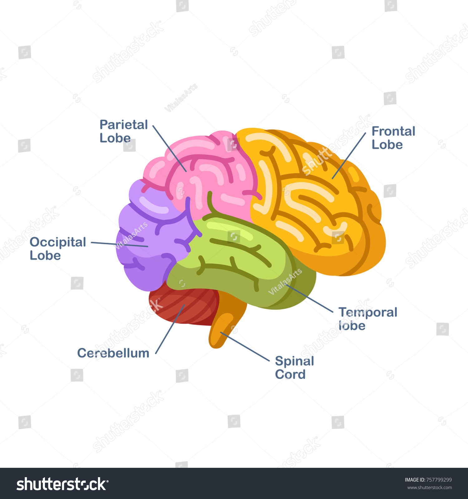 Color Brain Diagram Labeled - Auto Electrical Wiring Diagram •