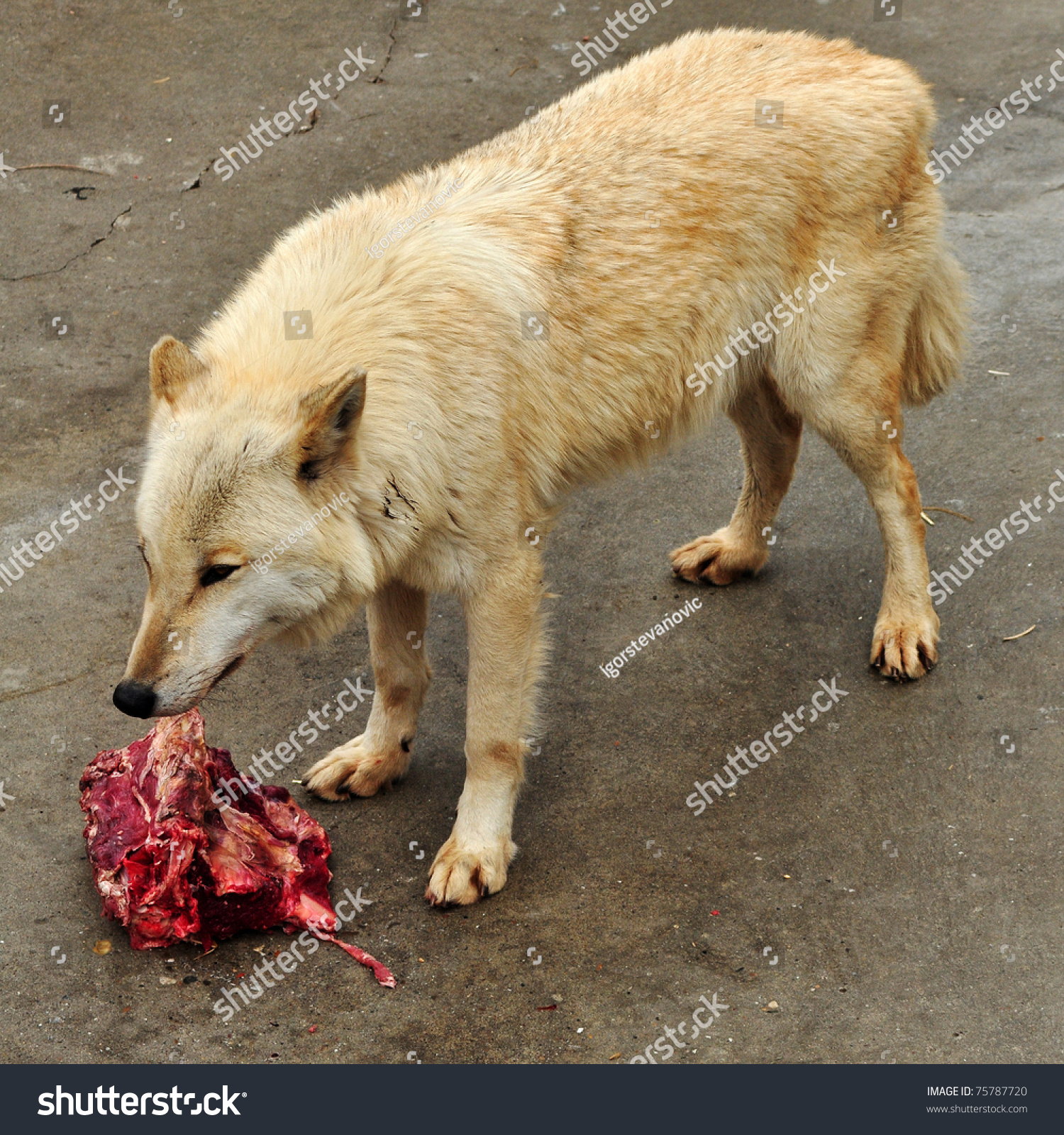 Stock Photo Wolf Eating