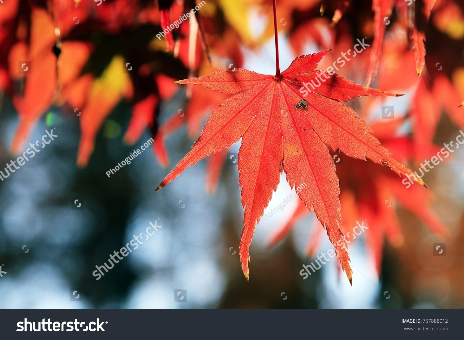 Flaming red maple leaves in autumn #757888012
