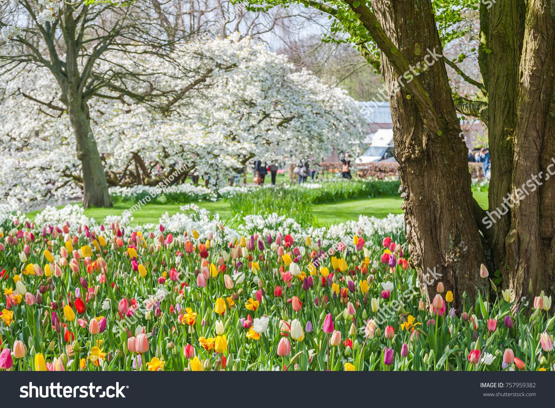 Spring View Keukenhof Park Tulip Cherry Stock Photo Royalty Free