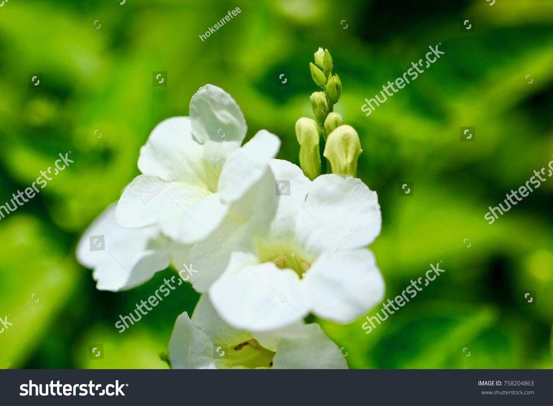 White flowers have 5 petals ez canvas id 758204863 mightylinksfo