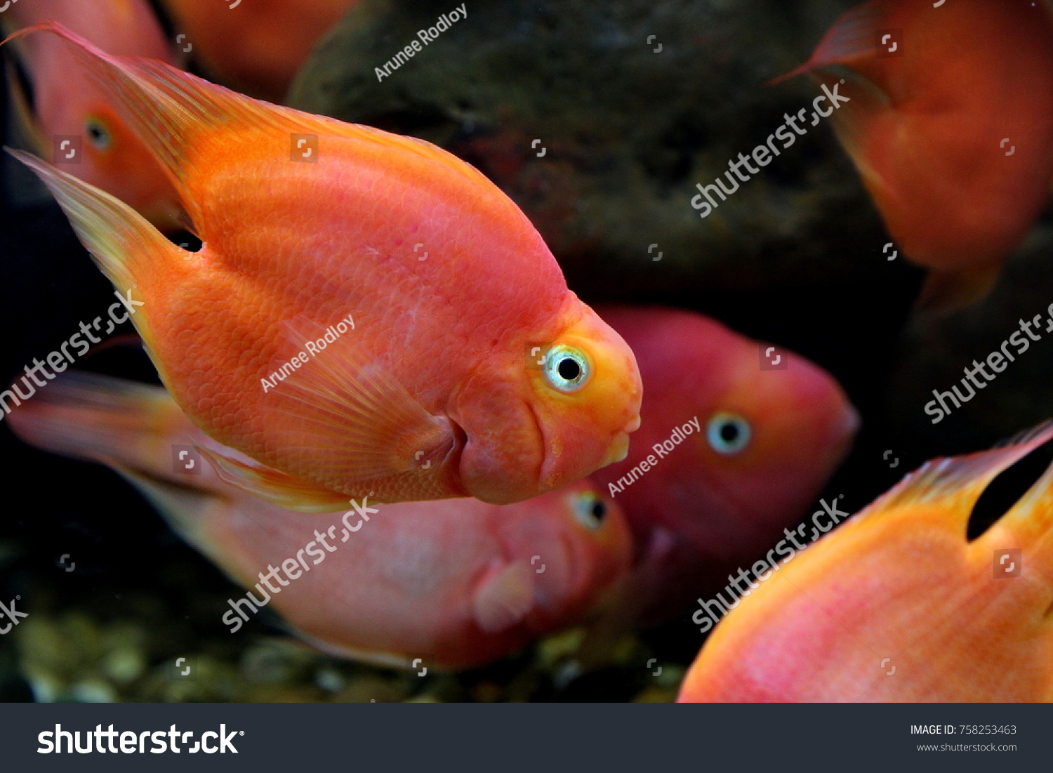 Blood Parrot Cichlid Hybrid Midas Redhead Stock Photo (Download Now ...