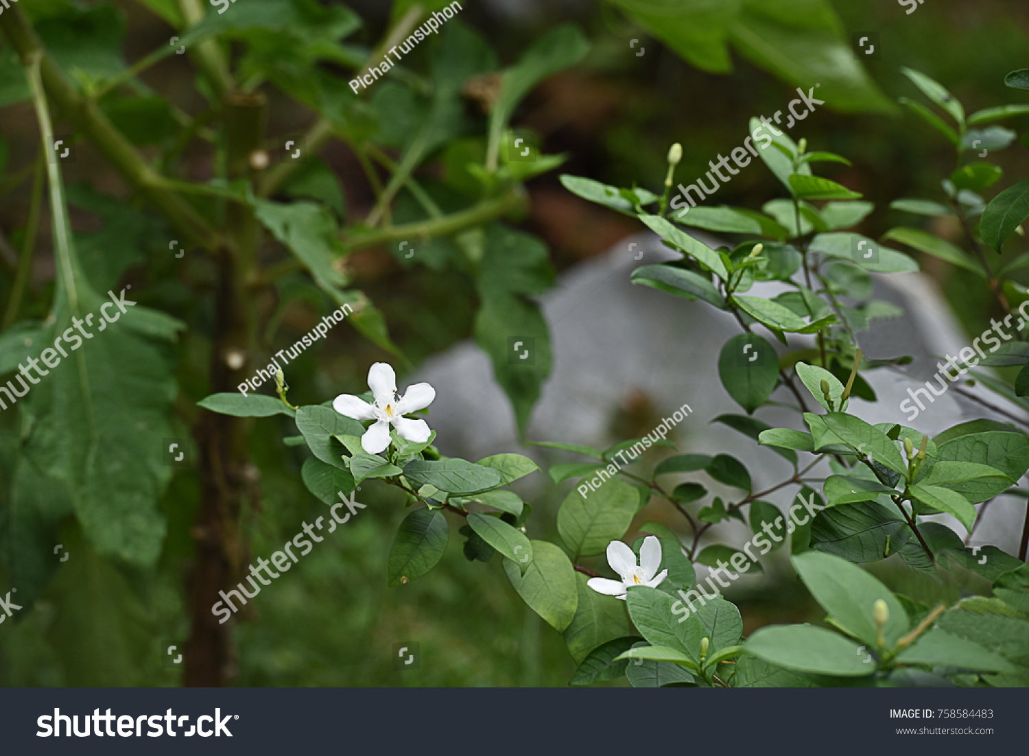 The tropical shrub that produces white star shaped flowers non ...