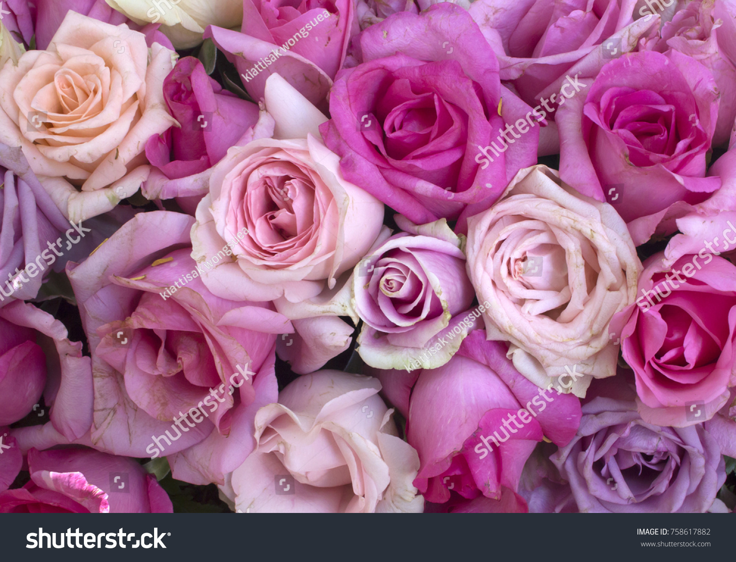 Roses Very Beautiful Flowers Fragrant Stems Stock Photo Edit Now