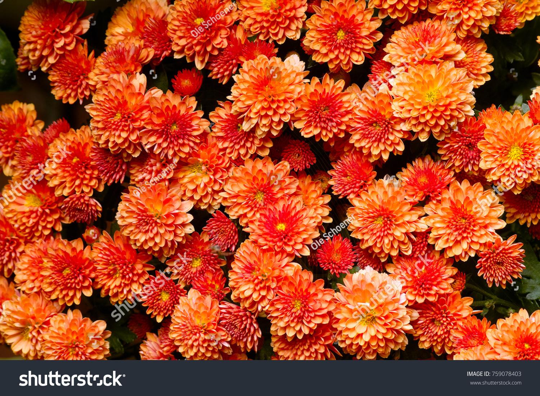 Orange Flowers Chinese Aster Garden Mum Stock Photo Edit Now